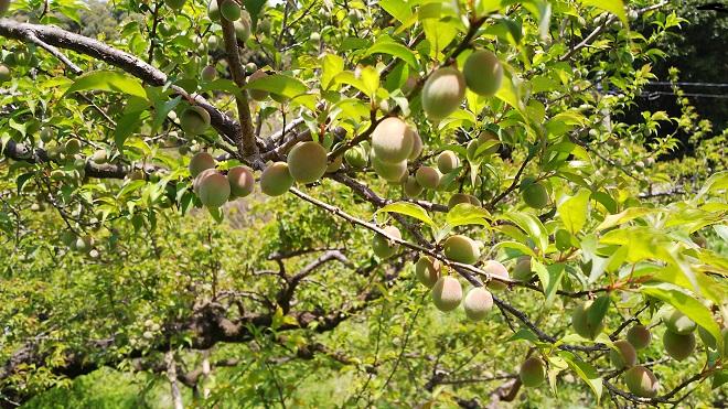 梅の実が大きくなりました。.JPG